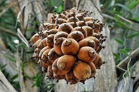 Cây cọ babassu được trồng nhiều ở Nam Mỹ là một loại dầu có thành phần giống dầu tự nhiên trên da